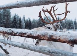 Reindeer at Luosto Lapland